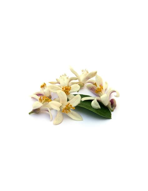 fiori d arancio significato immagini fiori darancio immagini fiori darancio bouquet