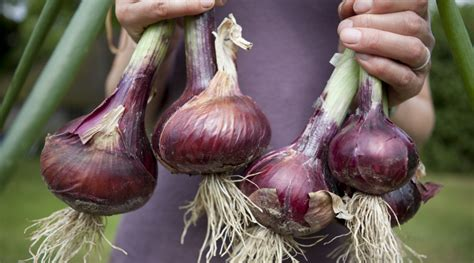 cucinare le cipolle 10 ricette con la cipolla le ricette de la cucina italiana