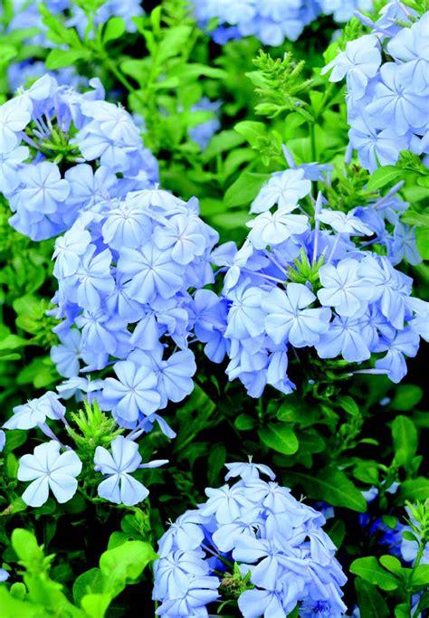 pianta sempreverde con fiori piante ricanti sempreverdi con fiori piante da interno