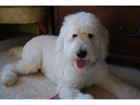 goldendoodle puppy illinois puppies for sale goldendoodle goldendoodles puppies