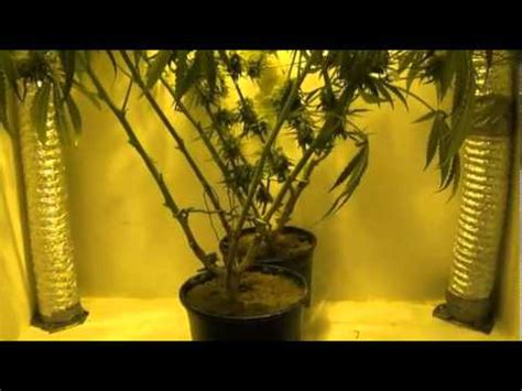 Growing Marijuana In Closet by Indoor Closet Grow Growing Marijuana Indoors