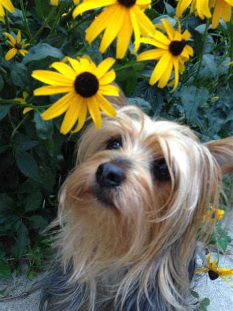 australian terrier vs yorkie what new families can expect when they adopt awell adjusted silky terrier puppy