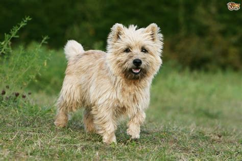 breeds of the six scottish breeds of terrier pets4homes