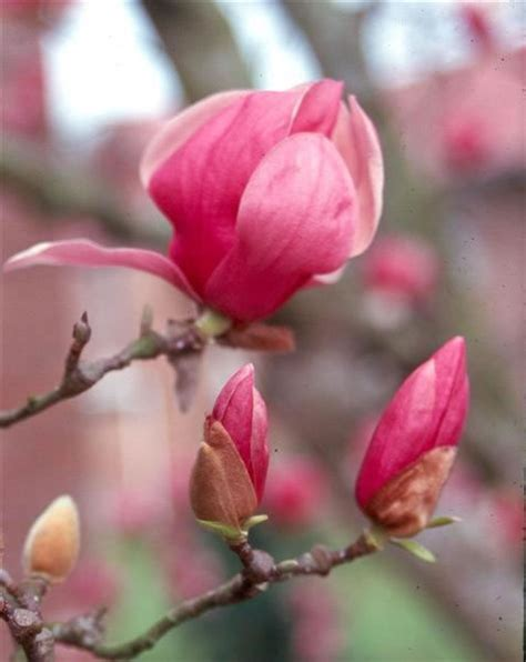 Lsu Magnolia X Soulangiana Magnolia Soulangiana Flower Jpg Jpg