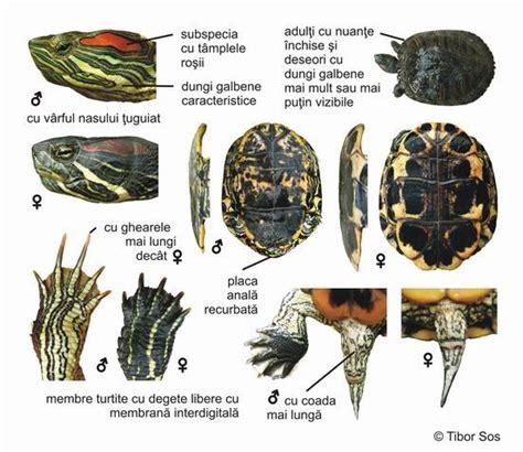 tartaruga d acqua alimentazione trachemys scripta elegans trachemys adoption