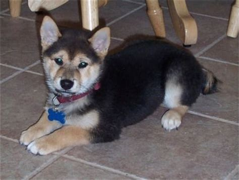 shiba inu rottweiler mix adorable all creatures great and small husky mix shiba inu and husky