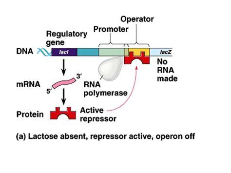r protein operon lac operon