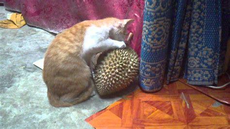 Sho Kucing Putih apabila kucing gila durian