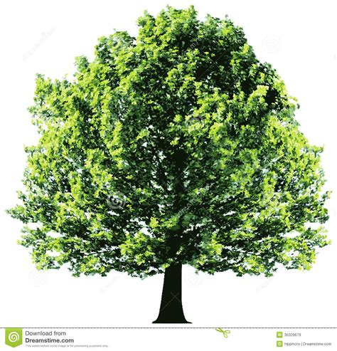 tree with green leaves isolated on white backgroun royalty