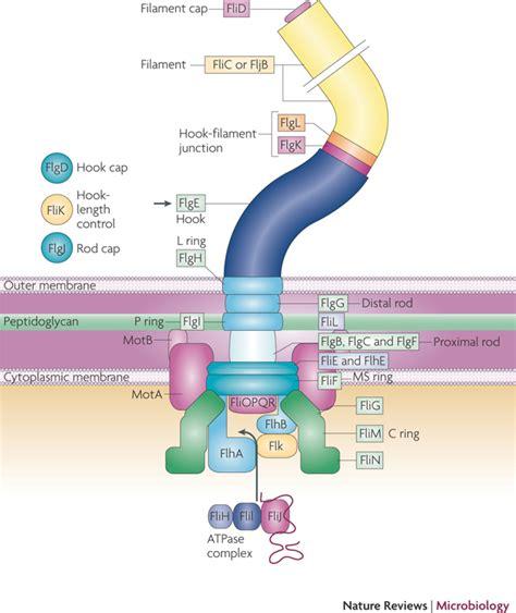 diagram of flagella image gallery bacterial flagella