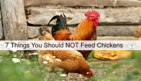 what to feed backyard chickens list of what not to feed chickens to keep them healthy