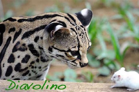 jaguars center diavolino leopardus wiedii изображение пуэрто вьехо