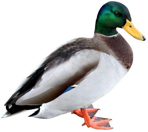 Duck Image duck png image pngpix