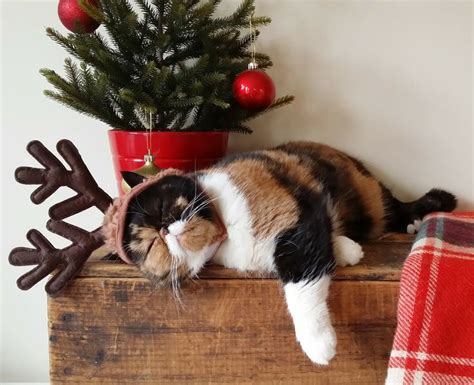 wishing   merry christmas   christmas cat  dog