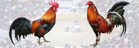 gallos de pelea navajas gallos de pelea navajas para gallo y productos para gallos de pelea