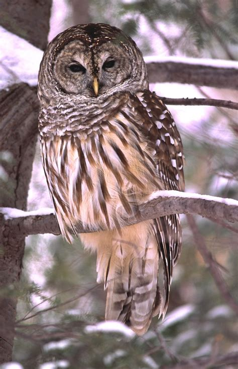 barred owl ohio birds and biodiversity