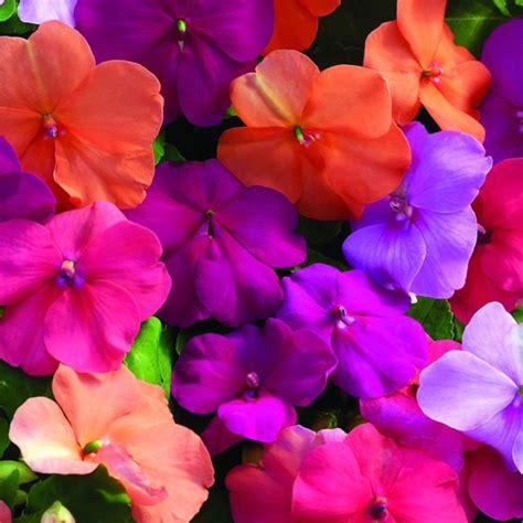 fiori di vetro coltivazione giardinaggio piante erbacee impatiens