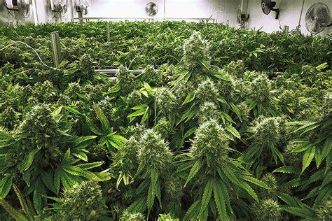 medical marijuana increasingly legal  trustworthy