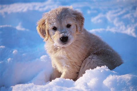 puppies golden retriever 28 pictures of golden retriever puppies that will brighten your day
