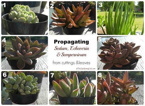 Propagating Succulents Can Be Done By Using The Offsets - propagating succulents how to tutorial the gardening cook