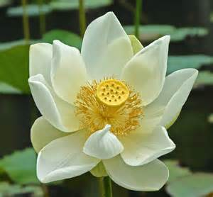 Lotus Flower History File White Lotus Mauritius Jpg Wikimedia Commons