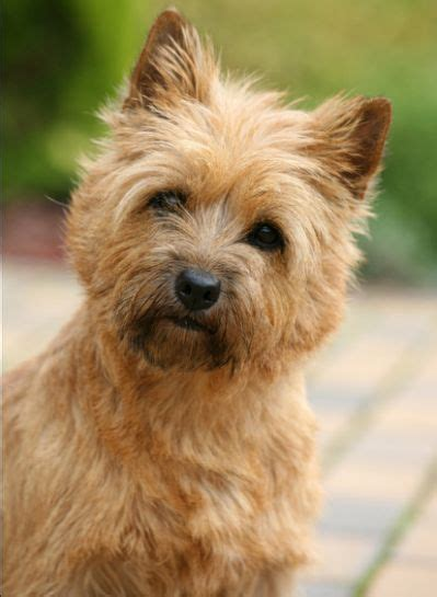 hair cuts for cairns terriers 27 best cairn terrier images on pinterest cairn terriers