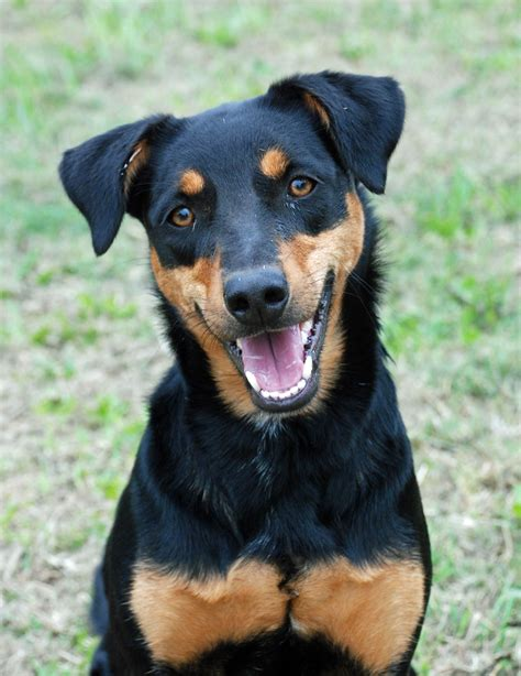 rottweiler lab mix breeders rottweiler lab mix information images