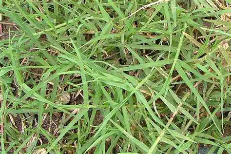 couch grass scientific name cynodon dactylon var dactylon