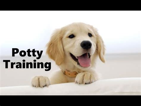 golden retriever potty tips how to potty a golden retriever puppy golden retriever golden