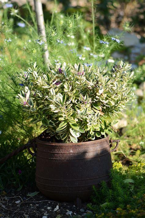 Arbuste En Pot Pour Terrasse Plein Soleil by Arbuste En Pot Plein Soleil Quel Arbuste Mettre En Plein