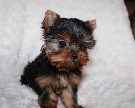 yorkie price range teacup yorkie puppy for sale yorkie breeder in california iheartteacups