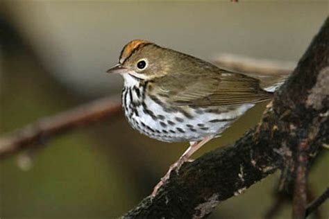 ovenbird pictures and photos photography bird