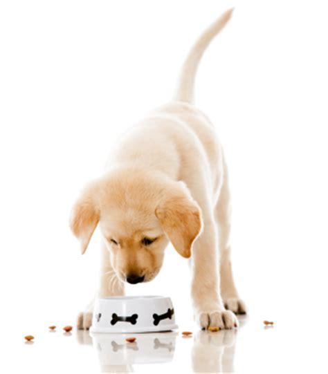 when do you start feeding puppies labrador puppy feeding faq the labrador site