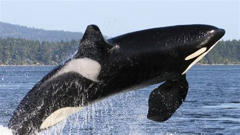 World S Whale Retailer Ends All Whale - killer whale facts built for the kill article national