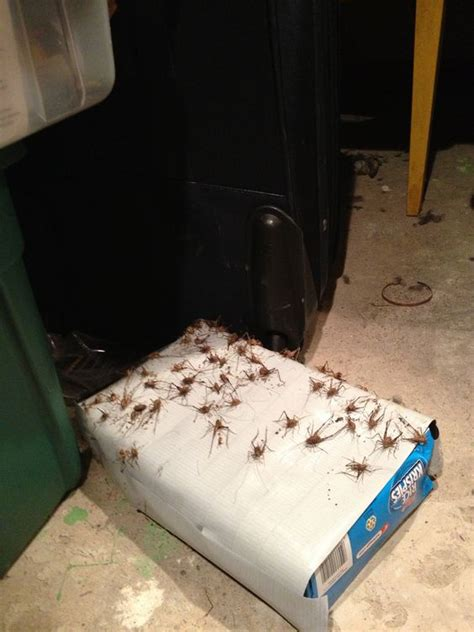 do bed bug traps work cas places and the crickets on pinterest