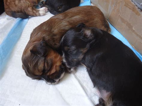 pomeranian yorkie puppies for sale adorable yorkie pom puppies for sale plymouth pets4homes