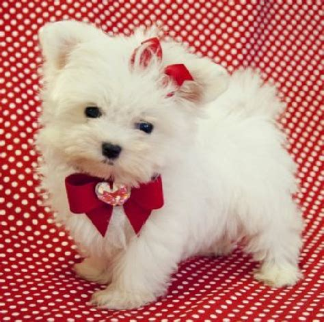 teacup yorkie maltese mix puppies for sale teacup maltese puppies for sale uk 2013 breeds picture