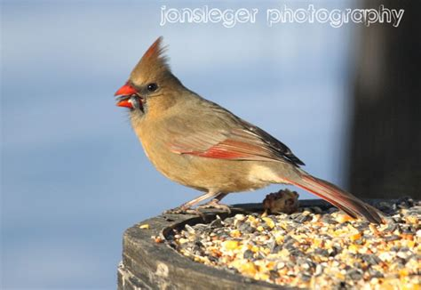 northern illinois birder northern cardinal