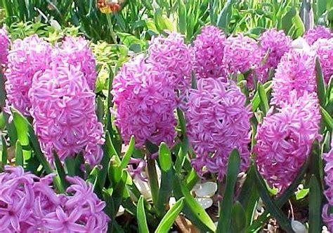 fiori giacinto giacinti con quali fiori abbinarli pollicegreen
