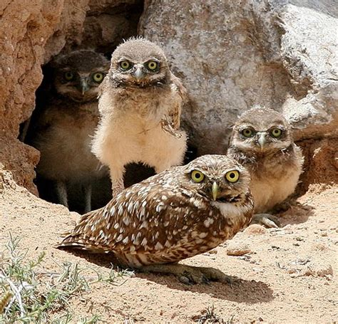 burrowing owl facts burrowing owl diet habitat