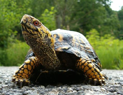 Turtle L by Animal Poster Box Turtle Poster Print Poster Reptile