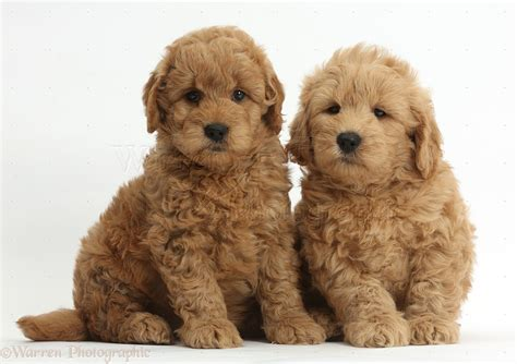 golden labradoodle puppy dogs f1b goldendoodle puppies photo wp37273