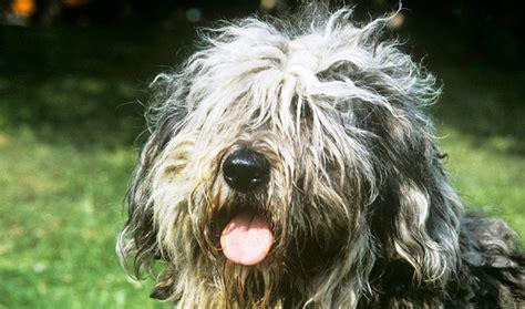 bergamasco puppies bergamasco breed information