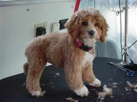 cockapoo haircuts before and after pinterest the world s catalog of ideas