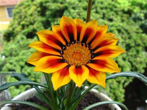 gazania fiore gazania uniflora gazania uniflora piante annuali