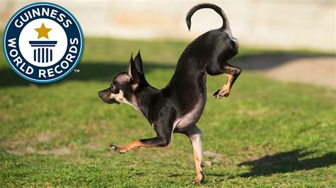 pug world records the new fastest 5 meters on front paw by a is 2 39sec guinness world