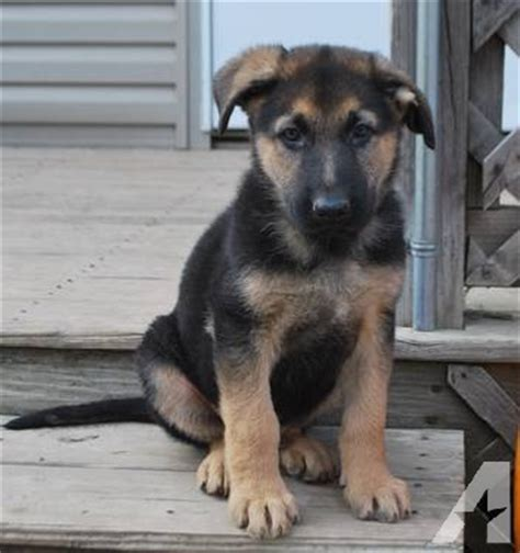 8 week german shepherd puppies german shepherd puppies black 8 weeks for sale in harmon ohio classified