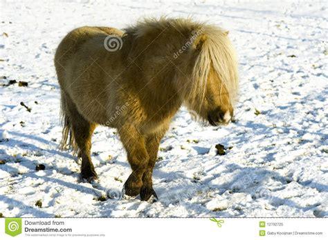 shetland pony stock photos images royalty free shetland shetland royalty free stock photo image 12792725