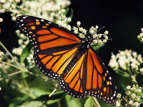 Justice Butterfly come snow and drought monarch butterflies fly on earthjustice