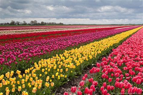 tulip fields 25 amazing tulip field pictures